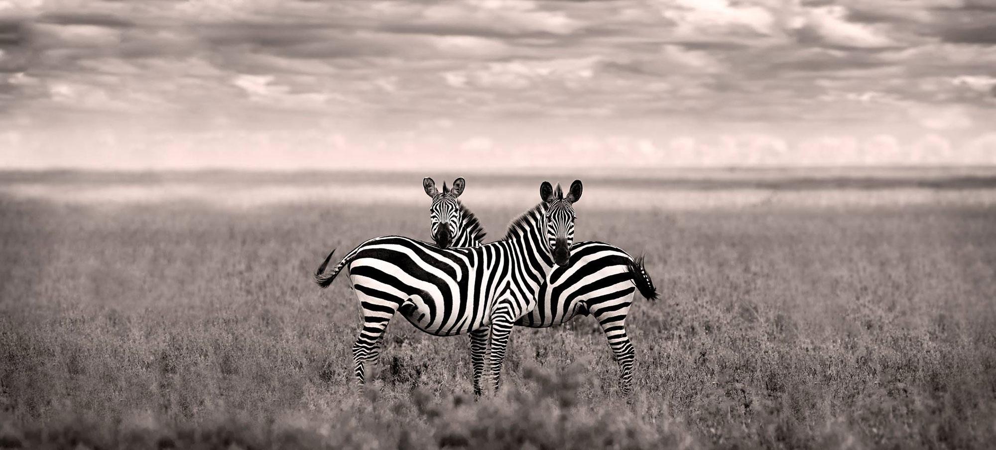Venera Zebras Preview